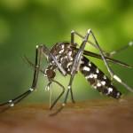 Vista lateral d'un adult femella de mosquit tigre, Aedes albopictus // J. Gathany