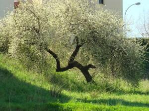 Un dels arbres protegits // Ajuntament de Sant Boi
