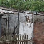 Diversos animals viuen en males condicions en aquesta gossera irregular // Libera