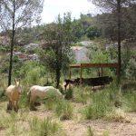 El rucs ja pasturen pel sotabosc // Ajuntament de Sant Boi de Llobregat